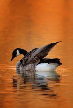 Canada Goose parka sale 2016 - Canada Goose Symbol of seasonal change, cooperation, leadership ...