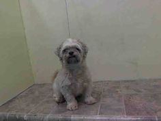 TO BE DESTROYED - 8/20/14 Manhattan Center   My name is PISCES. My Animal ID # is A1010785. I am a neutered male white and tan shih tzu. The shelter thinks I am about 7 YEARS old.  I came in the shelter as a OWNER SUR on 08/16/2014 from NY 11232, owner surrender reason stated was PET HEALTH.