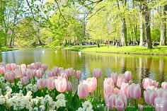 Keukenhof garden - Holland www.aruralchiclifestyle.com Amsterdam Travel, Beautiful Places, Shabby Chic, Garden, Trips, Google, Tulips, Holland, Scenery