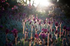 Backlight 12x18  flower photo backlit photography by SeaLilyStudio
