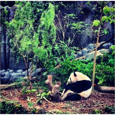 Panda Kai Kai @ River Safari, Singapore