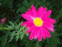 HOT Pink PAINTED DAISY 20 seeds Tanacetum coccineum