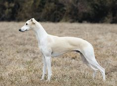 Whippet | Whippet Dog detailed characteristics11