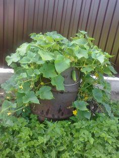 Хочу поделиться опытом выращивания огурцов в обычной бочке. На дно слоями насыпаю солому, торф, навоз, можно использовать компост. Хорошенько все проливаю водой и сажаю 5 семечек огурцов в конце апре…