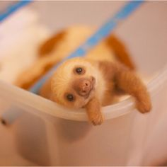 Adorable baby sloth.