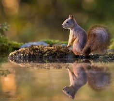 Red squirrel #wildlife #wildlife_seekers #wildlife_perfection #wildlifephotography #naturfoto #excellent_nature #eXclusive_animals #your_best_birds #jaw_dropping_shots #nature_brilliance #ilovenorway #redsquirrel #squirrel #wildlife #wildlifephotography #wildlife_supreme #wildlifephotography #wildplanetphotomag #nuts_about_squirrels