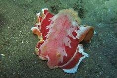 Resultado de imagem para spanish dancer jellyfish