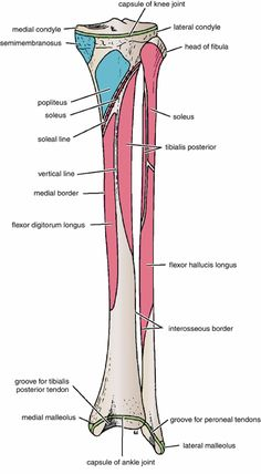 muscle attachment of tibia Leg Muscles Anatomy, Ankle Anatomy, Anatomy Bones, Gross Anatomy, Human Body Anatomy, Human Anatomy And Physiology, Muscle Anatomy, Shoulder Impingement Syndrome, Soleus Muscle