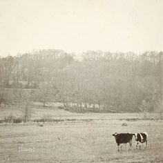 Cow Photography Black and White Vintage Inspired  by DreamyPhoto, $15.00