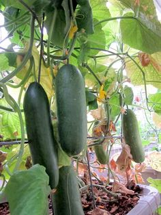 Container gardening for cucumbers