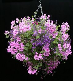 hanging basket with geranium and lobellia