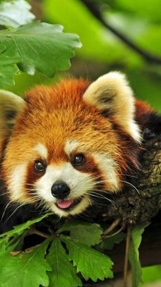 Flawless 25 Things You Didn't Know About Red Pandas https://meowlogy.com/2018/02/23/25-things-didnt-know-red-pandas/ About two-thirds of their food intake is composed of bamboo