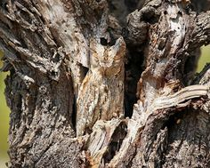 Stunning Examples of Owl Camouflage