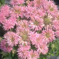 bee balm want list 9 to 10 inches tall   perennial  shade