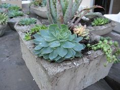 love the succulents in the diy concrete planters