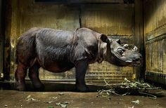 Sumatran Rhino at Cincinnati Zoo