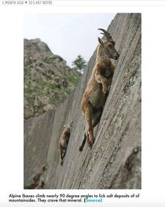Climbing goats: They defy the precipices to feed on minerals Nature Animals, Animals And Pets, Funny Animals, Cute Animals, Beautiful Creatures, Animals Beautiful, Animal Pictures, Cool Pictures, Photo Animaliere