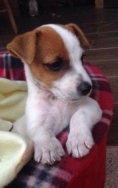 Bruno Jack Russell Terrier