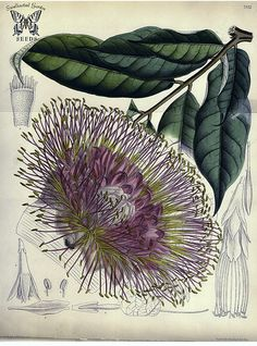 Panama Flame Tree, Brownea macrophylla, illustration by Mathilda Smith, 1889. There are two flower forms, one is red, the other a shade of apricot
