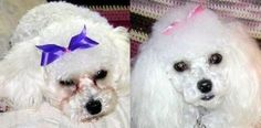 A Veterinary Guide to Tear Stains. clean twice a day with contact solution and. A Veterinary Guide to Tear Stains. clean twice a day with contac Havanese Puppies, Maltese Dogs, Bichon Frise, Maltipoo, Yorkie, Dog Tear Stains, Tear Stain Removal Dogs, Dog Eyes, Pet Grooming