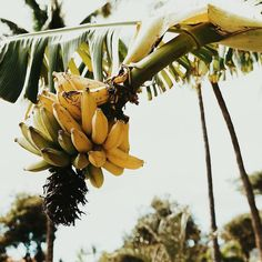 In a tropical paradise || Hand pickin' all the fresh local fruit for breakfast