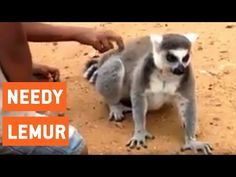 Lemur Asks For Back Scratch