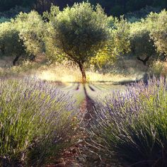 Lavender and Olive Trees in Provence, France Terre Nature, Scandinavia Design, Lavender Fields, Lavander, Olive Tree, Plantar, South Of France, Wabi Sabi, Garden Inspiration