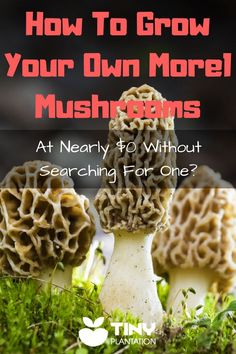 A guide to how to grow morel mushrooms in your home garden free and without going on tedious hunts for one of the best gourmet delicacies on the planet. #grow #morelmushroom #howtogrowmorelmushrooms