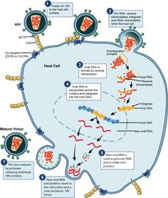 HIV Replication Cycle for #WorldAIDSDay