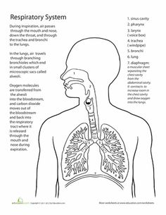 Worksheets The Human Respiratory System Worksheet respiratory system we and the ojays on pinterest worksheets inside out anatomy system