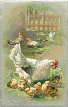 galinha branca com pintos