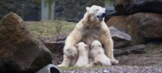 February 29th marked the official debut of The Netherlands' Ouwehands Zoo's Polar Bear cubs. Under the careful supervision of their mother 'Huggies', the cubs explored their outdoor exhibit for the first time. Born December 1st of 2011, the twins play a crucial role in educating their visiting pubic about the plight of this highly endangered species. Climate change is melting the sea ice on which this majestic creature depends for its survival in the wild, pushing Polar Bears to the brink of…