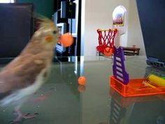 clicker-training birds (playlist)Clicker Training:Kiwi cockatiel shoots 3 balls in the basket