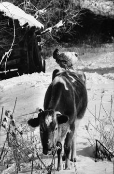 Cow With Chicken On It's Back
