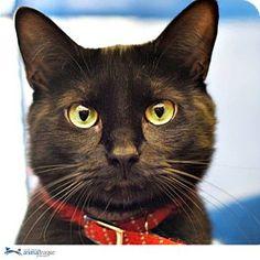 Port Washington, NY - Domestic Shorthair. Meet Lara, a cat for adoption. http://www.adoptapet.com/pet/11331527-port-washington-new-york-cat