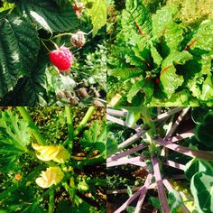 The latest produce growing in our Centre for Lifelong Learning Community Garden. Great news for brussels sprouts fans - we should have plenty of these ready for Christmas. Also pictured are some of our first ever raspberries ripening in our new Jam Grove.