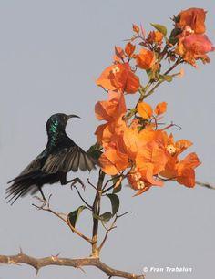A Palestine sunbird