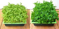 How to Grow Sunflower and Snow Pea Shoots--nutritional superfoods for your salads