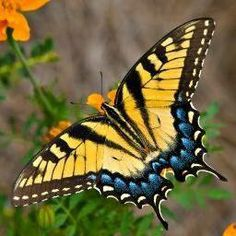 Tiger Swallowtail Butterfly - Buy this stock photo and explore similar images at Adobe Stock Butterfly Pictures, Butterfly Flowers, Monarch Butterfly, Blue Butterfly, Butterfly Wings, Beauty Butterflies, Beautiful Butterflies, Beautiful Creatures, Animals Beautiful