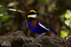 Banded Pitta.  Really colorful bird from Southeast Asia.