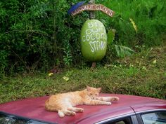 Coconut Stand Cat: A yellow striped cat basks in the morning light atop a car parked at Coconut Glen's Coconut stand on the road to Hana, Maui, taking in the visitors as they pass by to fill up on coconuts and fruits. #hawaii #cats