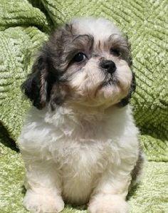 Bichon Frise + Yorshire Terrier = Yochon or Bichon Yorkie) -