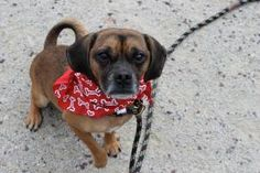 "Puller says, ""Do you wanna be best-friends? I'll be the furry one. You can be the human one."" Puller is an adoptable puggle  available for adoption at the Pennsylvania SPCA."