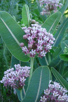 Sullivant's Milkweed (Asclepias sullivantii)