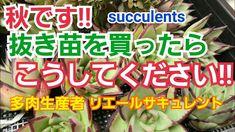 【多肉植物】初心者さん‼️ 秋です‼️抜き苗を買ったら‼️ - YouTube Succulent Care, Succulents, Beef, Youtube, Meat, Succulent Plants, Youtubers, Youtube Movies, Steak