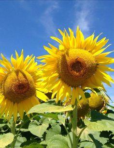 Girasoli  Sunflowers