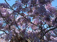 glycine Plants, Wisteria Tree, Plant, Planting, Planets
