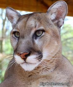 Ares Male Cougar DOB Ares is the laid back mellow sibling. Big Cats, Cute Cats, Funny Cats, Funny Animals, Animals Amazing, Majestic Animals, Beautiful Cats, Animals Beautiful, Big Cat Rescue Tampa