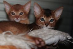 Abyssinian, Kitty, Cats, Instagram Posts, Animals, Gatos, Animais, Abyssinian Cat, Animales