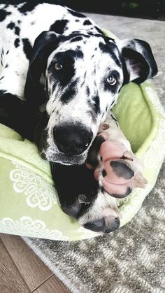 Great Dane Puppy♡♡Quinn